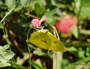 Phoebis neocypris-JdBotanicoSP-Br-4-4-15-ASilveira