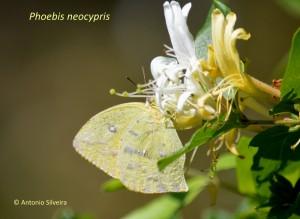 Phoebis neocypris-JdBotanicoSPBR-1-9-15-ASilveira-nome