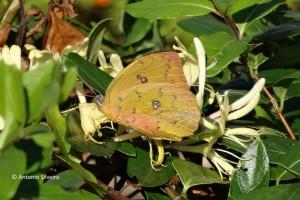 Phoebis philea-PqIbirapueraSP-BR-14-6-15-ASilveira