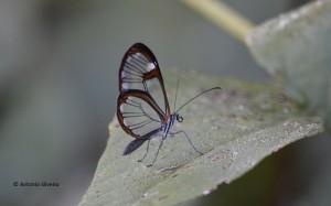 Pseudoscada erruca-JdBotanicoSP-18-4-15-ASilveira