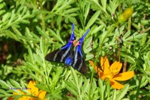 Rhetus periander periander 1-PqIbirpaueraSP-1-5-16-ASilveira