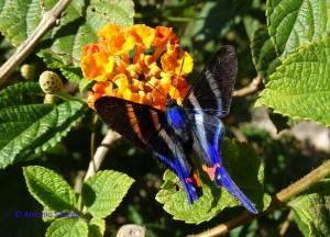 Rhetus periander periander 4-PqIbirpaueraSP-1-5-16-ASilveira