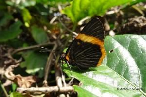 Riodina lycisca lycisca2-PqIbirapueraSP-BR-9-7-15-ASilveira