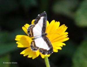 Synargis calyce brennus-JdBotanicoSP-BR-8-1-16-ASilveira