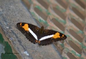Adelpha malea goyama1-IguazuNP-AR-24-4-15-ASilveira
