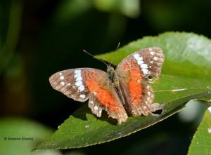 Anartia amathea roeselia-IguazuNP-AR-25-4-15-ASilveira