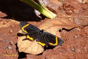 barbicornis-basilis-mona2-pniguazu-ar-28-10-16-asilveira