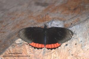 Biblis hyperia nectanabis1-IguazuNP-AR-25-4-15-ASilveira
