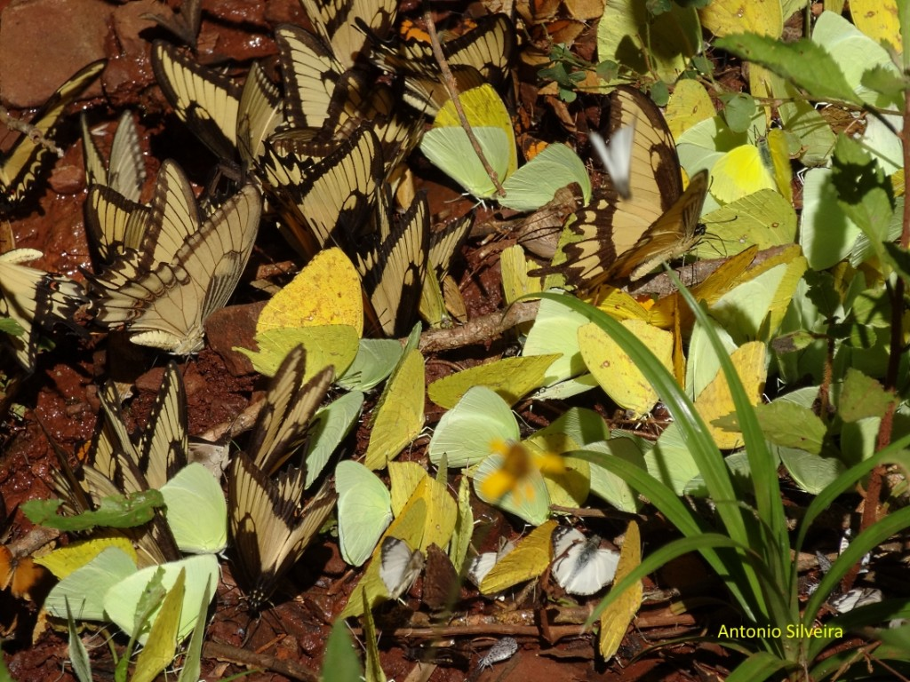 borboletas6-pniguazu-ar-29-10-16-asilveira