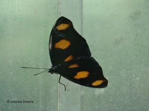Catonephele numilia neogermanica-PuertoIguazuAR-26-4-15-ASilveira