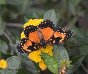Chlosyne lacinia saundersi1-IguazuMisionesAR-23-4-15-ASilveira