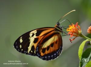 Eueides isabella dianasa2-IguazuNP-AR-24-4-15-ASilveira