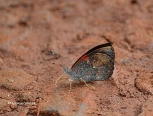 Haematera pyrame1-IguazuNP-AR-24-4-15-ASilveira