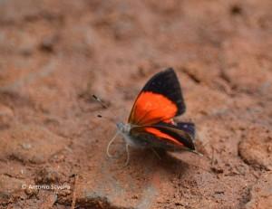Haematera pyrame2-IguazuNP-AR-24-4-15-ASilveira