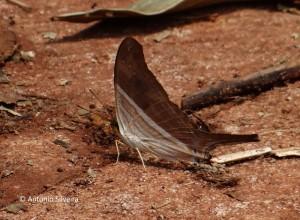 Marpesia chiron1v-SelvaYryapu-PIgAR-23-10-15-ASilveira