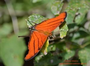 Marpesia petreus2-IguazuNP-AR-24-4-15-ASilveira