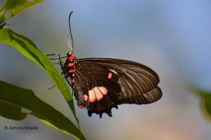 Parides anchises nephalion1-IguazuNP-AR-25-4-15-ASilveira