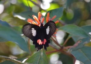 Parides anchises nephalion2-IguazuNP-AR-25-4-15-ASilveira