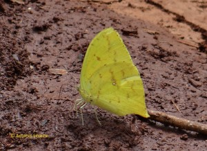 Phoebis neocypris -SelvaYryapu-PIgAR-23-10-15-ASilveira