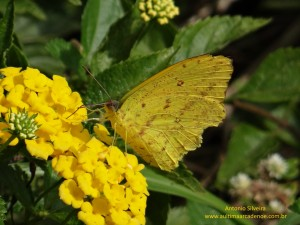 Phoebis sennae marcellina2-PuertoIguazuAR-23-4-15-ASilveira