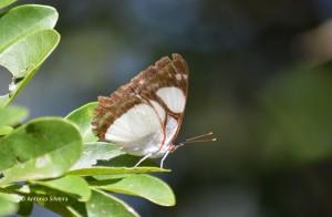 Pyrrhogyra neaerea arge-IguazuNP-AR-25-4-15-ASilveira