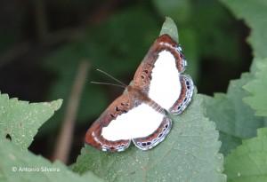 Synargis calyce brennus-PNIguazuAR-11-3-16-ASilveira
