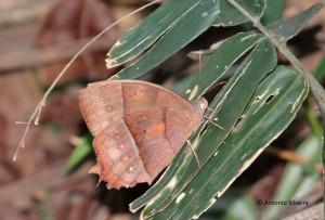 Taygetis laches marginata-PuertoIguazuAR-26-4-15-ASilveira