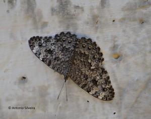 Hamadryas feronia-SItapetingaAtibaiaSPBR-2-5-15-ASilveira