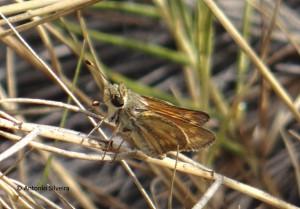 Hylephila phyleus2-Bubali-Aruba-24-5-15-ASilveira