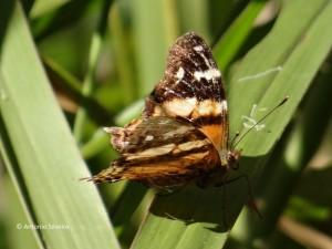 Hypanartia bella1-SItapetingaAtibaiaSPBR-2-5-15-ASilveira