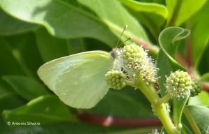 Kricogonia lyside3-Bubal1-Aruba-17-5-15-ASilveira