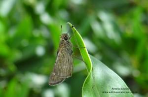 Panoquina panoquinoides2-Bubali-Aruba-17-5-15-ASilveira