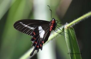 Parides agavus1-SItapetingaAtibaiaSPBR-2-5-15-ASilveira