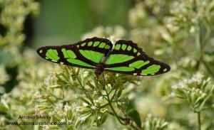 Philaethria wernickei2-SItapetingaAtibaiaSPBR-2-5-15-ASilveira