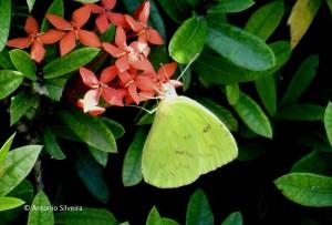 Phoebis sennae-PalmBeach-Aruba-16-5-15-ASilveira