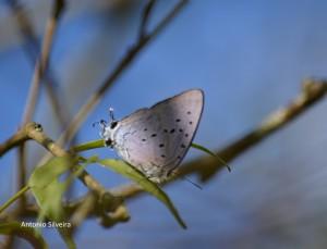 Pseudolycaena marsyas-SItapetingaAtibaiaSPBR-2-5-15-ASilveira