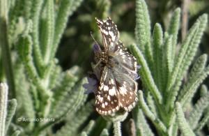 Pyrgus orcus1-JdBotanicoSP-BR-7-5-15-ASilveira