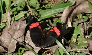 Adelpha lycorias1-SJapiJundiaiSP-13-6-15-ASilveira