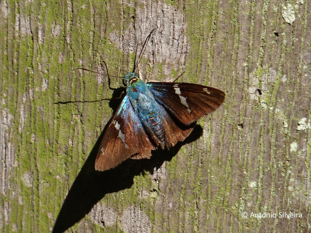 Astraptes fulgerator azul-2-JdBotanicoSP-BR-6-6-15-ASilveira
