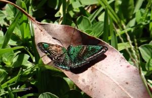 Caria plutargus plutargus-SerradoJapiSP-BR-19-3-16-ASilveira