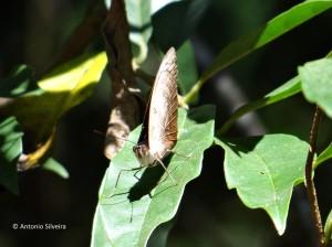 Catonephele numilia-SerradoJapiSP-BR-19-3-16-ASilveira