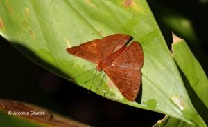 Emesis mandana mandana1-JdBotanicoSP-BR-30-6-15-ASilveira