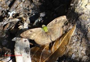 Gorgopas petale1-SerraJapi-SP-8-8-15-ASilveira