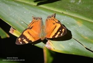 Hypanartia lethe2-JdBotanicoSP-BR-30-6-15-ASilveira