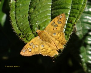 Myscelus amystis-SerradoJapiSP-BR-19-3-16-ASilveira