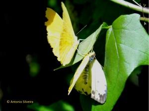 Phoebis philea-Japi-JundiaiSP-5-12-15-ASilveira
