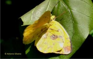 Phoebis philea1-Japi-JundiaiSP-5-12-15-ASilveira
