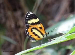 Placidula euryanassa3-SerradoJapi-JundiaiSP-BR-25-3-17-ASilveira