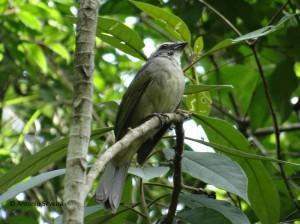 Saltator similis1-Japi-JundiaiSP-5-12-15-ASilveira