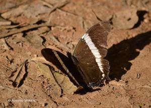 Siproeta epaphus trayja1-JdBotanicoSP-BR-30-6-15-ASilveira
